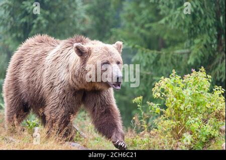 Brown bear (Latin Ursus Arctos) in the forest on a background of wildlife.