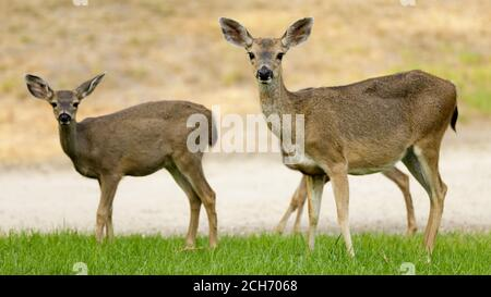 Alert Black tailed Deer mother and babies in the meadow