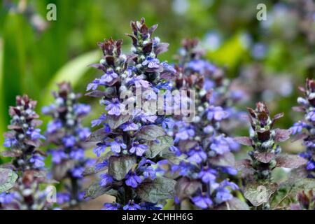 Ajuga reptans is commonly known as bugle, blue bugle, bugleherb, bugleweed - Stock Photo