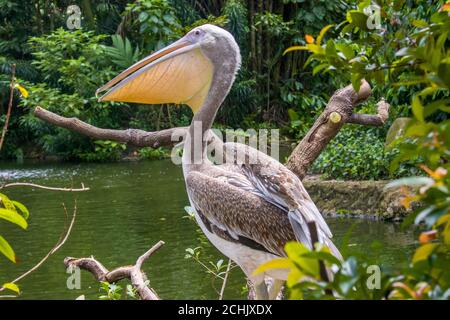 the closeup image of juvenile Great white pelican (Pelecanus onocrotalus). A bird in the pelican family. - Stock Photo