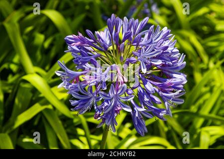 African Lily, Agapanthus africanus, cluster, blue violet flowers, rhizomatous, Lily of the Nile, nature; Bermuda - Stock Photo