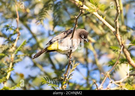 Cape Bulbul Pycnonotus capensis) perched in Fever Tree (Vachellia xanthophloea,) Western Cape, South Africa - Stock Photo