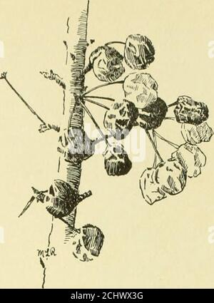 . Cyclopedia of American horticulture, comprising suggestions for cultivation of horticultural plants, descriptions of the species of fruits, vegetables, flowers and ornamental plants sold in the United States and Canada, together with geographical and biographical sketches, and a synopsis of the vegetable kingdom .