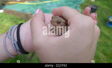 European common toad (Bufo bufo), in the hands of a girl, Germany