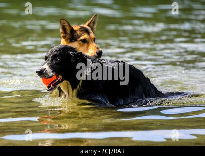 Adorable dogs playing in the water and enjoying the warm weather. This black dog is fetching his ball. German Shepherd in the background - Stock Photo