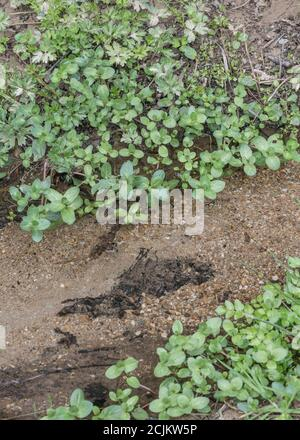 Brooklime / Veronica beccabunga leaves growing in flooded roadside drainage ditch. Foraged & survival food containing Vitamin C. Once used in cures - Stock Photo