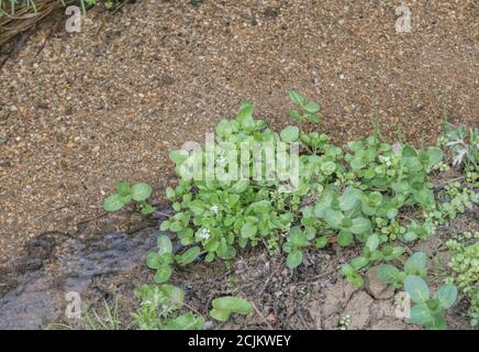 Small patch of flowering wild Watercress / Nasturtium officinale in freshwater stream. Oval leaved Brooklime / Veronica beccabunga to lower right. - Stock Photo