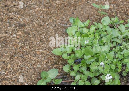 Small patch of flowering wild Watercress / Nasturtium officinale growing wild in freshwater stream. Concept small stream, medicinal plants, wild food. - Stock Photo