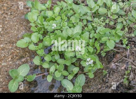 Mixed patch of flowering wild Watercress / Nasturtium officinale with oval-leaved Brooklime / Veronica beccabunga in freshwater stream. Medicinal herb - Stock Photo