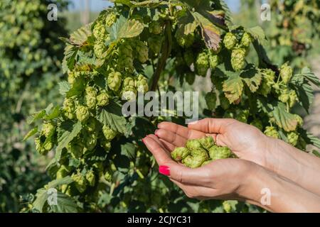 Female hands hold hop cones close-up. Harvesting hops in the field. - Stock Photo