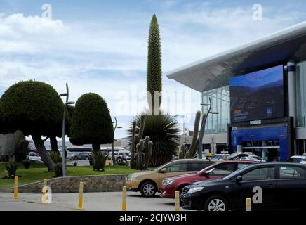 A view of a Queen of the Andes (Puya raimondii) plant as it begins to bloom, outside of El Alto international airport, on the outskirts of La Paz, Bolivia, November 16, 2018. This plant only blooms when the plant reaches an age of about 80 to 150 years old. Picture taken November 16, 2018. REUTERS/David Mercado - Stock Photo
