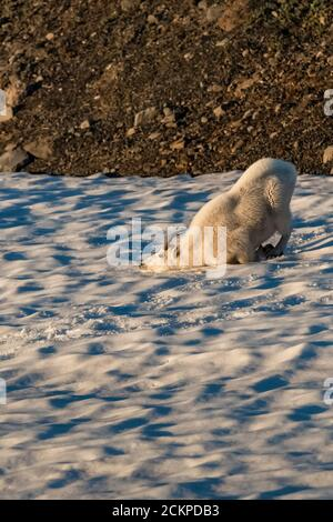 Young male Mountain Goat, Oreamnos americanus, at play by itself on a snowfield while a mature adult grazes nearby, on Heliotrope Ridge below Mount Ba - Stock Photo