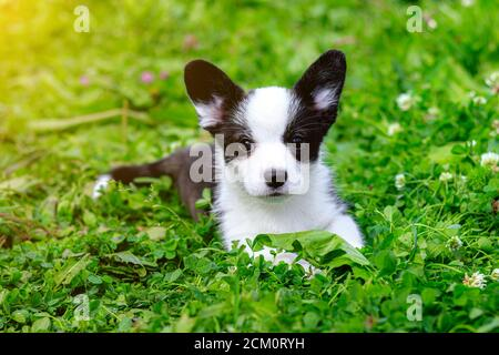 Puppy Welsh Corgi cardigan is lying on the grass. A pet. A beautiful thoroughbred dog. The concept of the artwork for printed materials. Article about - Stock Photo