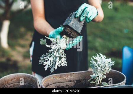Close up photo of a caucasian woman wearing gloves is replanting flowers in pots at home