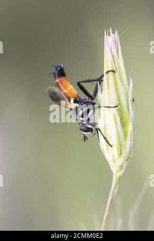 Cylindromia species fly of very striking colors black orange and white of the family Tachinidae perched in a very strange posture on a perch with unfo - Stock Photo