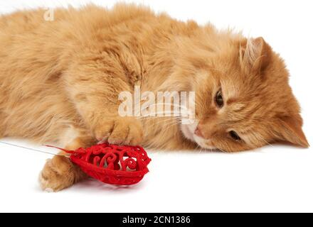 adult red-haired domestic cat lies on a white background Stock Photo