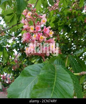 Inflorescence of a red horse chestnut (Aesculus x carnea) - Stock Photo