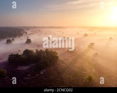 Blooming heather in the Netherlands,Sunny foggy Sunrise over the pink purple hills at Westerheid park Netherlands, blooming Heat