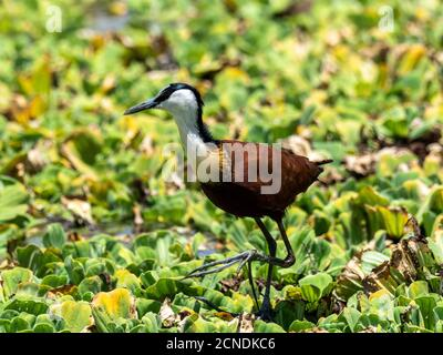 Adult African jacana (Actophilornis africanus), Lake Manyara National Park, Tanzania, East Africa, Africa - Stock Photo