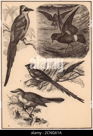 Motmot. Mother Carey's Chicken. Mouse-bird. American Mockingbird. Birds 1903 - Stock Photo
