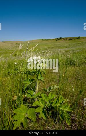 A remaining patch of original prairie with cow parsnip in the foreground near Steptoe Butte in Whitman County in the Palouse, Washington State, USA. - Stock Photo