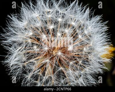 Blooming dandelion before wind close up