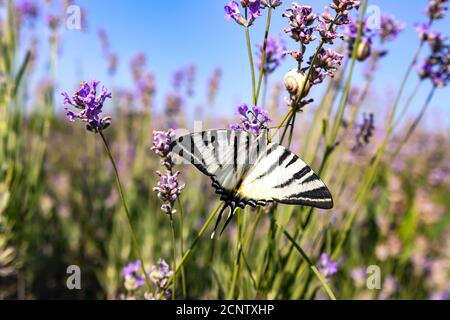 Large butterfly sailboat with white wings with black stripes on a lavender flower in a field on a sunny day. Papilio insect swallowtail papillonidae.