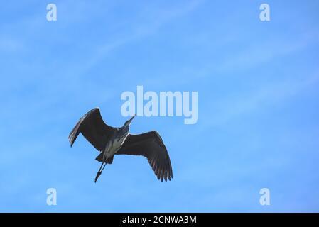 Nahaufnahme eines Graureihers im Flug - Stock Photo