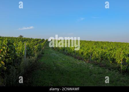 Weingarten im Abendlicht - Stock Photo