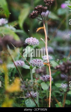 wild basil (Clinopodium vulgare) in the Teutoburg Forest in Oerlinghausen, North Rhine-Westphalia, Germany - Stock Photo