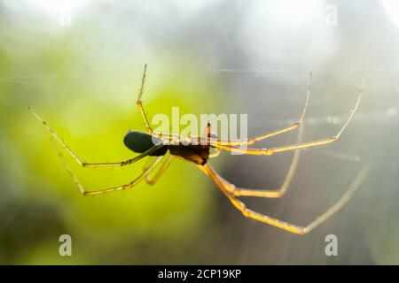 Spider on spider web after rain in front of sun glare - Stock Photo