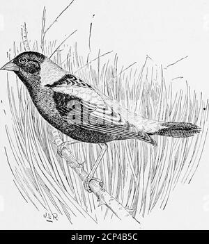 . Legislation for the protection of birds other than game birds . rmous numbers for market, and when it reaches the Carolinas,farther south, where it is known as the ricebird, the slaughter isincreased, not for sport, but as protection against its ravages in therice fields. Here it becomes a veritable pest, and may be killed lawfullyat any season. To many persons it is a delicious morsel, although itsdiminutive body furnishes little more than a taste of meat. There Beal, Food of Woodpeckers, Bull. 7, Div. Ornith. and Mamm., Dept. Agr pp16-20, 1895, BOBOLINKS OR REEDBIRDS. 19 would be no object - Stock Photo