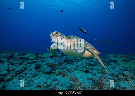 Large adult female green turtle (Chelonia mydas) swim over tropical coral reef in Palau, Micronesia