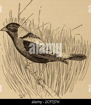 . Legislation for the Protection of Birds Other Than Game Birds . , Div. Ornith. and Mamm., Dept. Agr., pp.16-20, 1895. This statement applies to both <I1is auratus and (Maples auratusluteus. When the report was published the latter bird had not been separated. 26 LEGISLATION FOR THE PROTECTION OF BIRDS. were it not for the abuse to which this custom of killing it for markethas given rise. Not only are other birds killed for reedbirds, but inStates in which reedbirds do not occur niarketmen try to make up thedeficiency by furnishing various small birds under that name. In themarkets of San - Stock Photo