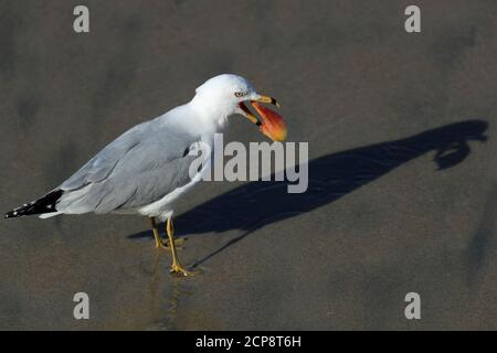 A seagull casts a shadow on the sand as it eats something it found on the sand at high tide in Solana Beach, California, U.S. March 26, 2018.   REUTERS/Mike Blake - Stock Photo