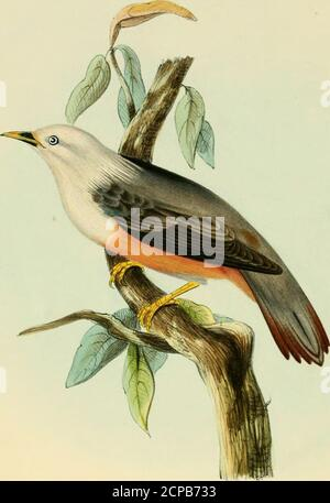 . Illustrations of Indian ornithology : containing fifty figures of new, unfigured and interesting species of birds, chiefly from the south of India . iefly the forests of Malabar, and the other high jungles of the westerncoast. I add what Mr. Blyth says on their  points of difference. The two species agreeexactly in size and colouring of feathers, except that yours has a yellow throat in bothsexes ; bu the form of the bill is essentially different, and there are several other distinctions.Tr. aromaticus verus (from Bengal andArracan) has a very much stronger bill, the corneousportion of which