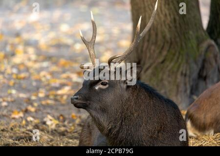 The sika deer (Cervus nippon) also known as  the Japanese deer. - Stock Photo