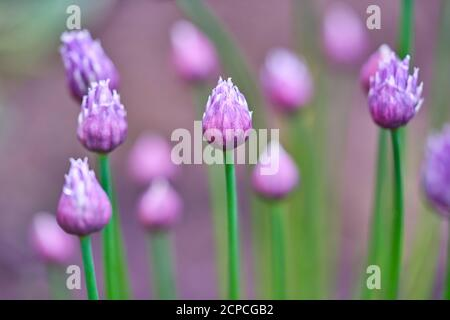 Purple pink flowers of perennial chives herb plant in the garden