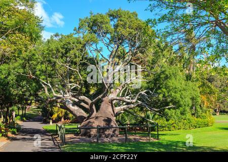 A large Queensland bottle tree (Brachychiton rupestris) in the Royal Botanic Garden, Sydney, Australia