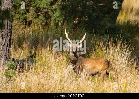 Watchful Sika stag at Arne - Stock Photo