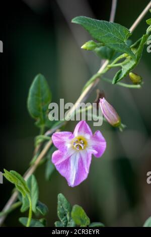 Field bindweed, field morning-glory, small bindweed (Convolvulus arvensis), blooming in East Grinstead - Stock Photo