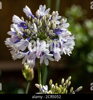 Agapanthus Twister in summer