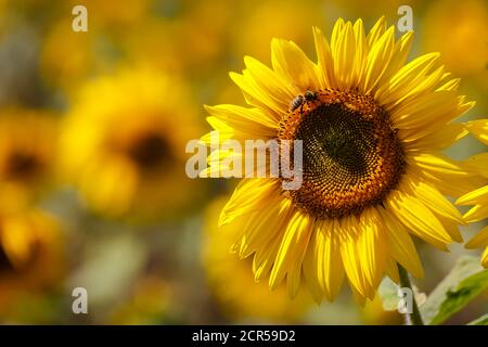 Jülich, North Rhine-Westphalia, Germany - bees on sunflower blossoms in the sunflower field. - Stock Photo