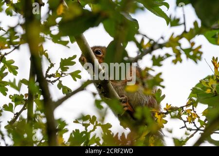 Grey squirrel hiding in tree - Stock Photo