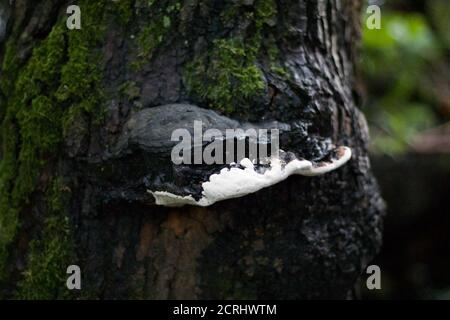 Black and white mould growth on damp mossy tree trunk Stock Photo