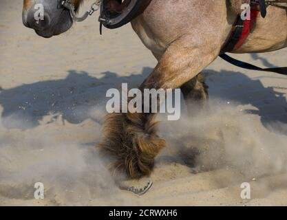 The legs of a carthorse are seen on the beach before it goes out for shrimp fishing at the coastal town of Oostduinkerke, Belgium July 3, 2015. At the end of each fishing session, the fishermen and their mounts leave the water to empty the net's contents into two wicker baskets fixed on each side of the horse. This traditional method of catching shrimps along the North Sea coast, which dates back to some 500 years, attracts tourists every summer. In 2013, Unesco recognized shrimp fishing on horseback as an intangible cultural heritage.  REUTERS/Yves Herman - Stock Photo