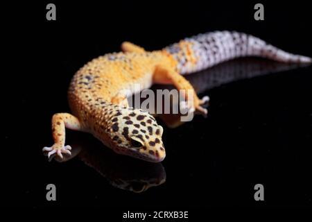 Leopard gecko, Eublepharis macularius, isolated on black background - Stock Photo