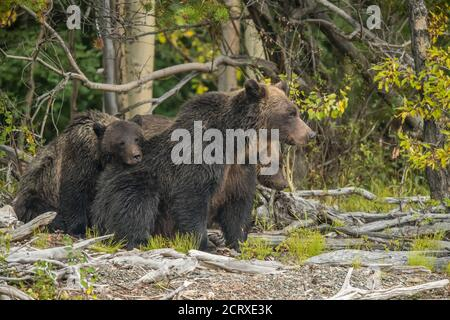 Grizzly bear (Ursus arctos)- Mother and yearling cubs resting on riverbank while hunting sockeye salmon spawning in a salmon river, Chilcotin Wilder
