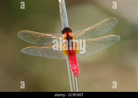 Scarlet Dragonfly Crocothemis erythraea - red coloured species of dragonfly in the family Libellulidae. Its common names include broad scarlet, common - Stock Photo