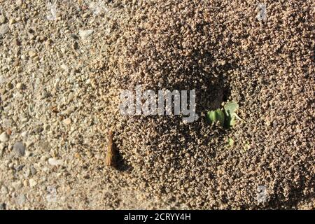 A small but robust anthill growing on a city sidewalk, Formicidae. - Stock Photo
